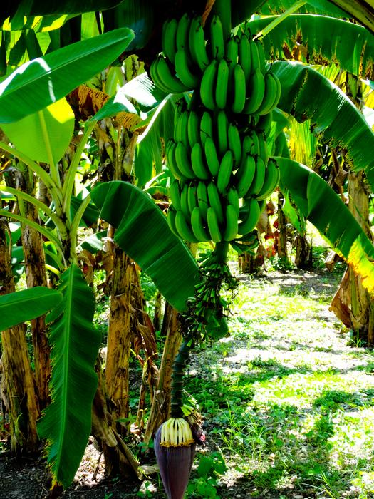 Marysol Tours - Bananas at Horseback Riding at Maimon Amber Cove Port